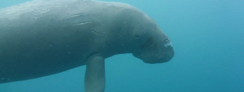 Diving with dugongs in Vanuatu