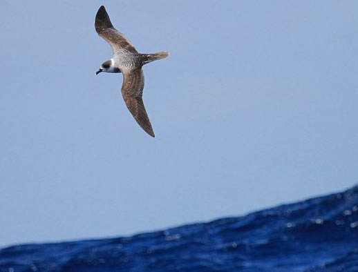 Photo from ARKive of the White-necked petrel (Pterodroma cervicalis) - http://www.arkive.org/white-necked-petrel/pterodroma-cervicalis/image-G87832.html