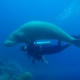 Diving with dugong in Vanuatu